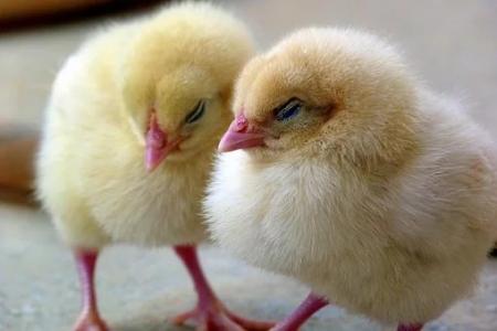 08.04.2020  Kurczaki i jajka