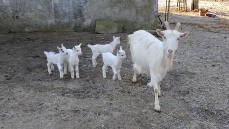 6.04.2021r. Koziołeczek - dziecko kozy