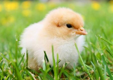 Kurczaczek 08.04.21