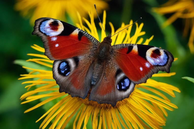 13.04.2020 Liczymy motyle.